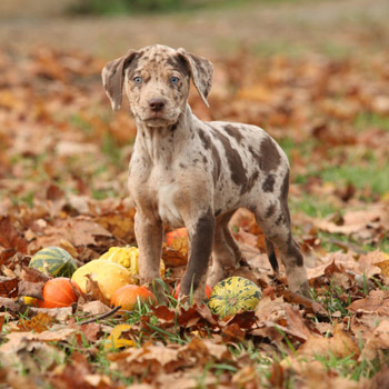 image of dog playing in fall leaves